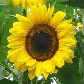 太陽花向日葵種子^~^~^(300公克 包^)