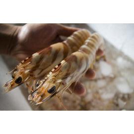活冻澎湖野生大明虾(1kg裝) 花格海味澎湖海鮮直送