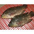鹹水吳郭魚 純淨海水飼養 每兩條魚售價120元