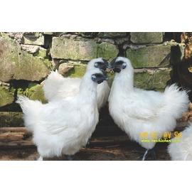 ~總統鮮雞~~生~~烏骨母雞~燉補好食材 滴雞精甜美多汁,富含豐富 蛋白質