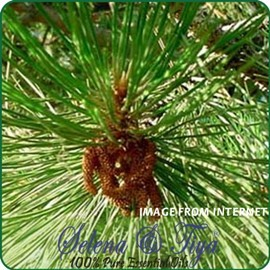 舒亞~蘇格蘭松^(保加利亞^)Pine Scotch Oil~10ml
