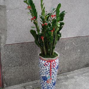 组合盆景设计  【t-027】金钱树盆栽:室内盆栽-地上型盆栽-发财树盆栽