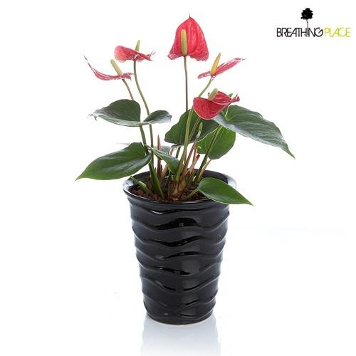 火鹤花鲜红美丽的花朵,彷佛热情的火艳,花朵大且多,造型姿态美,希望朋