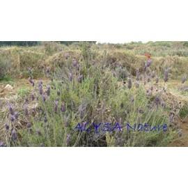 喀什米爾薰衣草精油Kashmir Lavender~芳療主播 ALYSA~印度特有精油 喀