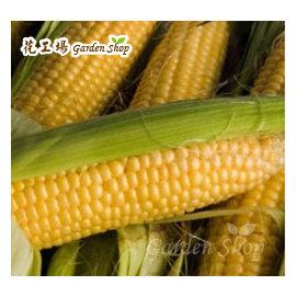 農友~可生食∼黃金水果玉米種子 黃色 HV251