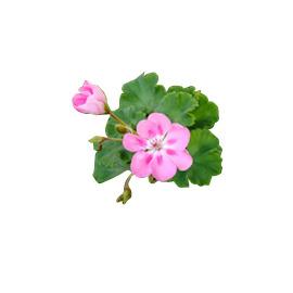 ~LE ~100^%純精油 ~ 玫瑰天竺葵10ml 保存期限:2018.1