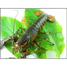 ~呈鮮坊~波士頓活龍蝦又稱美洲螯龍蝦 ^(Lobster^) ~清蒸或水煮 火鍋 宴客 年