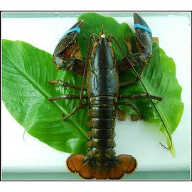 ~呈鮮坊~波士頓活龍蝦又稱美洲螯龍蝦  Lobster  ~清蒸或水煮 火鍋 宴客 年菜