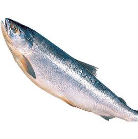 生食級冰鮮~北海道鮭魚~^~全魚整條 ~