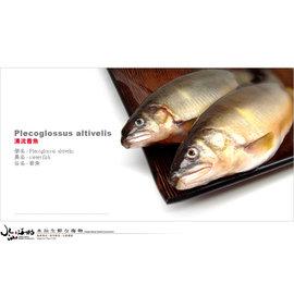 ^!^!^~水汕生鮮海物^~ 鮮嫩肥美超大香魚^(公^)9尾 大香魚^(母^)5尾