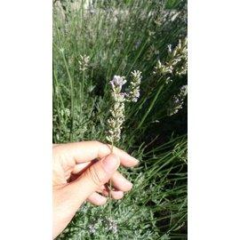 法國真正薰衣草 Lavende fine ~芳療主播 ALYSA~田裡有蜜瓜香氣 直接來自