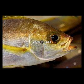幸福海物|澎湖 黃雞 250g±10^% 單尾