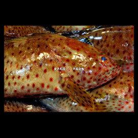 幸福海物|澎湖現流 赤點石斑 300g±10^% 單尾