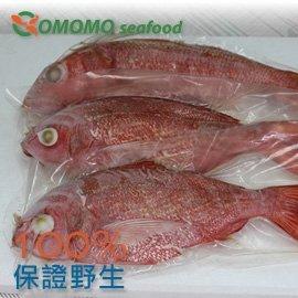 ~Comomo 天然野生海魚~野生磯釣金線魚 真空包裝全魚 649公克 ^(70元 100