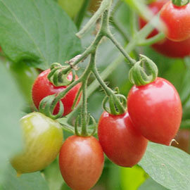 櫻桃小番茄~新鮮現採~溫室種植~安全無毒