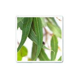 Eucalyptus Blue Gum Essential Oil 藍膠尤加利精油 100