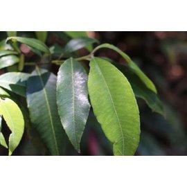 檸檬香桃木精油 Lemon Myrtle~芳療主播ALYSA~澳洲原生 有國外 澳洲本土植