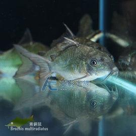 ~AC草影~青銅鼠~一隻~底棲鼠魚 觀賞魚 鼠魚 大型鼠魚