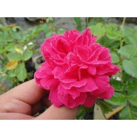 玫瑰苗 ~~ 紫燕飛舞,Zi Yan Fei Wau ~~ 4吋盆 10~20公分高 蔓性