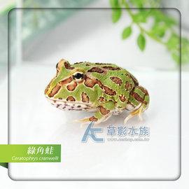 ~AC草影~南美角蛙~一隻~ 觀賞蛙 青蛙 角蛙