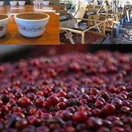 ~福璟咖啡豆 ~薩爾瓦多 綠色山丘莊園 波波龍處理廠 El Salvador Monte