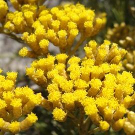 ^(舒亞^)永久花^(蠟菊^)純露Immortelle ^(Helichrysum^) F