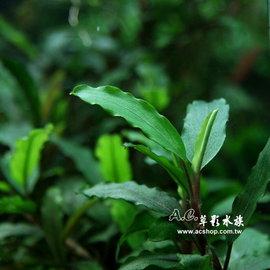 ~AC草影~綠寶石~一株~神祕草 中景草 Bucephalandra sp. from U