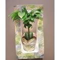 綠寶石小品盆栽