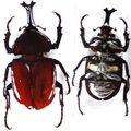 昆蟲物語★書鎮★ 甲蟲壓克力標本-大甲蟲