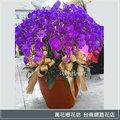 H017 特級精品紅花蝴蝶蘭 圓球形 台南市花店