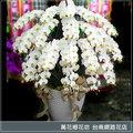 H025 悼念追思花禮 特級大白蝴蝶蘭 台南市花店