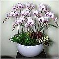D032異色類蘭花盆栽