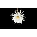 BD, HD,  影片素材:70722 P02-12s ed 曇花 Epiphyllum 白花