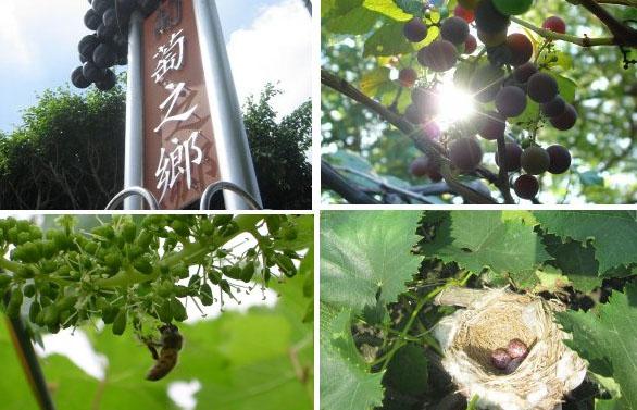 每一串葡萄,都是從小時後就開始套袋細心照料,才是好吃的葡萄!