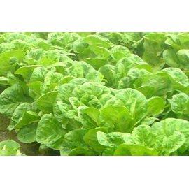 ~大包裝蔬菜種子~葉蘿蔓萵苣,全年 種植的萵苣品種,實在無可挑剔!