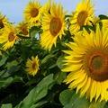 (舒亞)向日葵花油Sunflower Oil Refined-2000ml