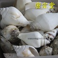 海螺 法螺 寶石 八供 供品 佛教用品 50g