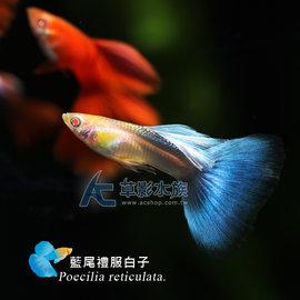 【AC草影】藍尾<font color=\'red\'>禮服</font>白子(對魚)【 一對】