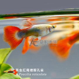 【AC草影】黃金紅尾<font color=\'red\'>禮服</font>孔雀(對魚)【一對】