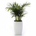 新上市~清新素雅、樹姿優美~袖珍椰子精緻小盆栽(白方造型盆)
