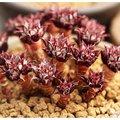 ⓒ羅西馬變種種子 (10顆裝) 進口多肉植物種子【K42】